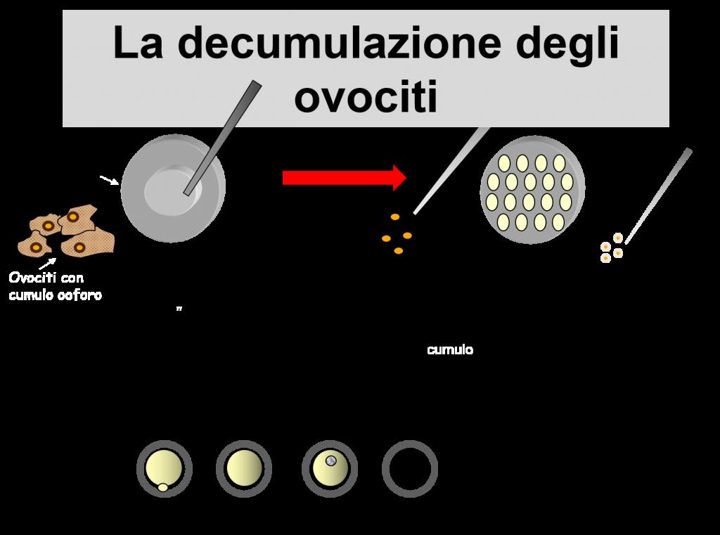 decumulazione Ovociti